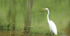 The aigrette